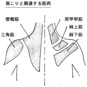 肩こりと関連する筋肉